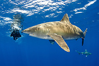 oceanic whitetip sharks, Carcharhinus longimanus, with scuba diver, Columbus Point, Cat Island, Bahamas, Caribbean Sea, Atlantic Ocean