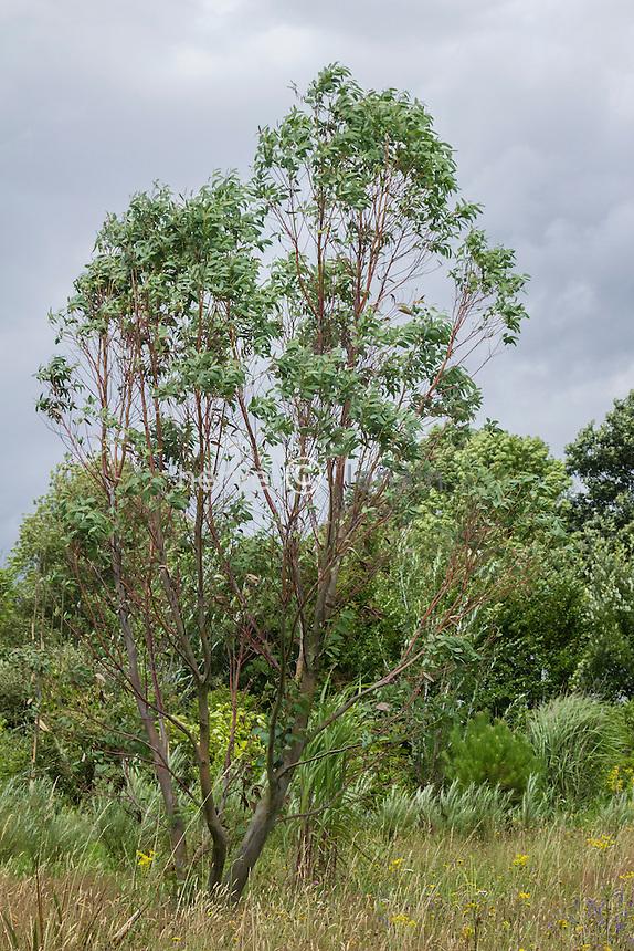 Eucalyptus pauciflora var. niphophila