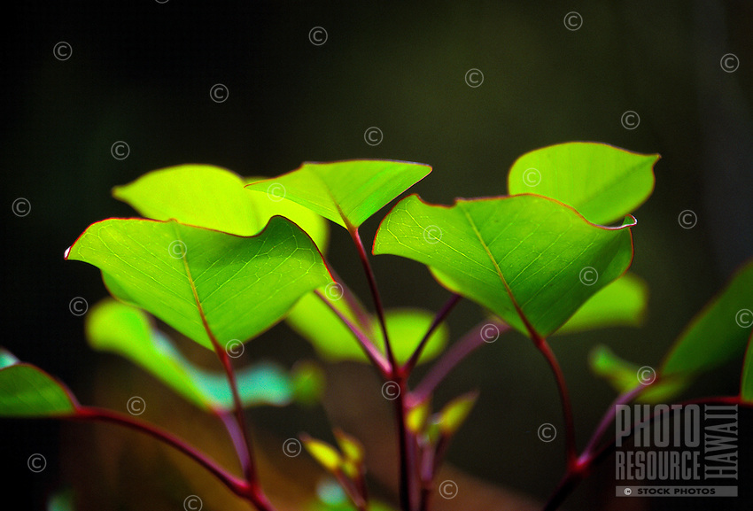 The leaves of the Olapa, (Cheirodendron trigynum).It is an endemic species of the ginseng family.