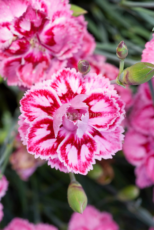 Dianthus 'Starburst' pink and red fragrant flowers, Promotional Line series