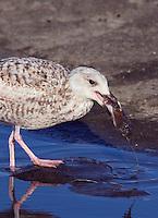 Herring Gull (Larus argentatus), Texel, the Netherlands