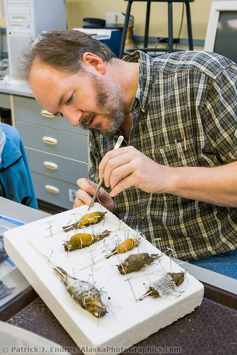University of Alaska Museum of the North, Ornithology department, Kevin Winker, Ph. D. Curator, prepares bird specimens for the museum collection.