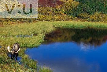 Bull Moose grazing in a tundra pond ,Alces alces,, Denali National Park, Alaska, USA.