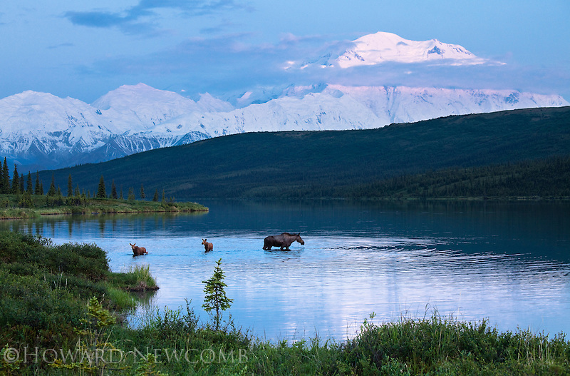 A mother Moose feeding in Wonder Lake is joined by her timid newborn twins.  Early summer in Denali National Park never gets dark at night.  This photograph was captured around 1 AM.