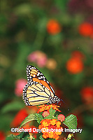 03536-04415 Monarch (Danaus plexippus) on Red Spread Lantana (Lantana camara) Marion Co.  IL