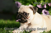 Bob, ANIMALS, REALISTISCHE TIERE, ANIMALES REALISTICOS, dogs, photos+++++,GBLA4339,#a#, EVERYDAY