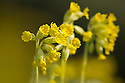 Cowslips {Primula veris} Peak District National Park, Derbyshire, UK. May.