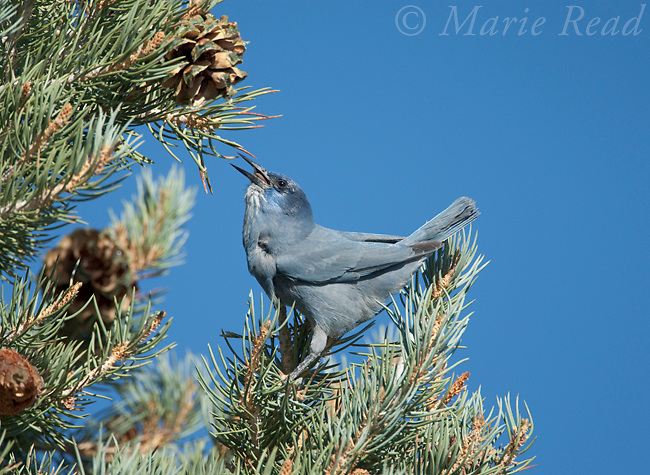 Pinyon jay (Gymnorhinus cyanocephalus), feeding on Pinyon Pine seeds, Mono Lake Basin, California, USA