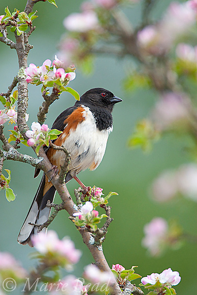 Eastern Towhee (Pipilo erythrophthalmus), male perched amid apple blossom in spring, New York, USA