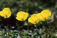 Yellow Alaska poppies backlit by the sun, Denali National Park, Alaska