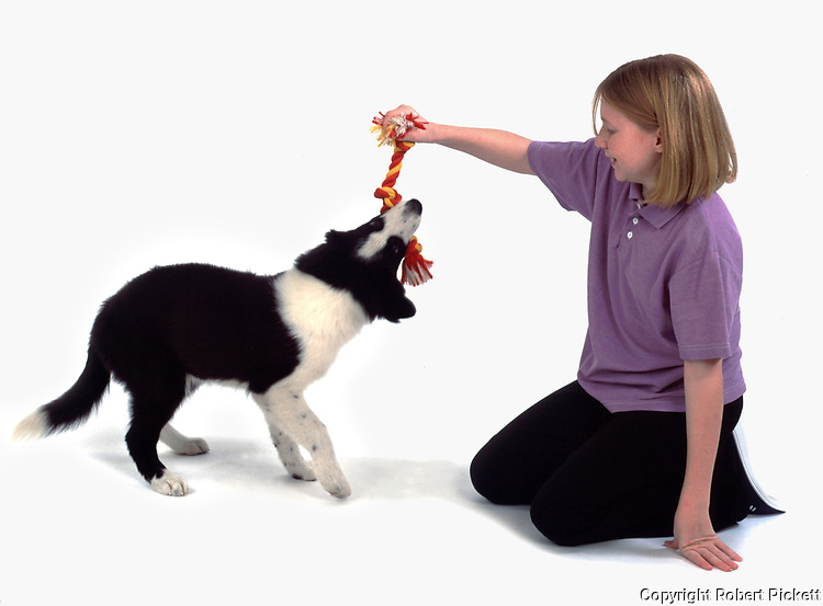 Young girl, 11 years old, playing with puppy border collie dog , studio, white background, cut out, pet