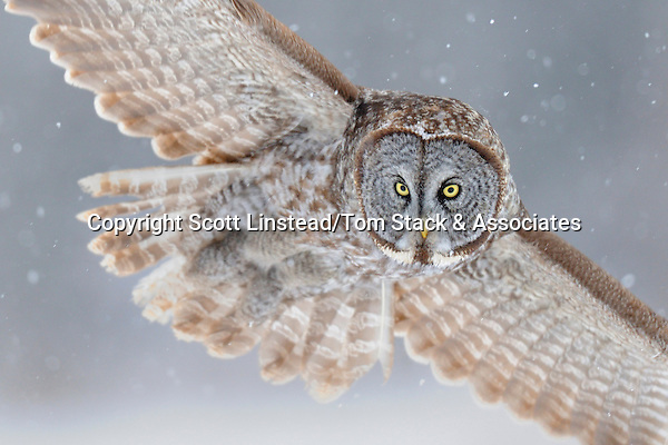 a great gray owl flying in a snow storm