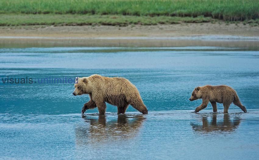 Alaska Peninsula Brown Bear female and cub (Ursus arctos horribilis), Hallo Bay, Katmai National Park, Alaska, USA