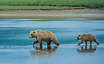 Alaska Peninsula Brown Bear female and cub (Ursus arctos horribilis), Hallo Bay, Katmai National Park, Alaska, USA