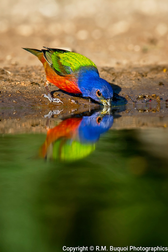 Painted Bunting with reflection