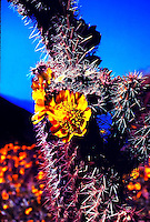 GOLDEN CHOLLA CACTUS BLOOM