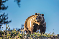 A female grizzly Bear on a Wyoming ridge in the Bridger Teton National Wilderness.<br />