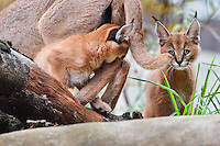"Caracal (Caracal caracal) kittens playing with mom.  The word ""Caracal"" comes from the Turkish word ""karakulak"" which means ""black ear.""  Found in Africa through Central Asia and India."