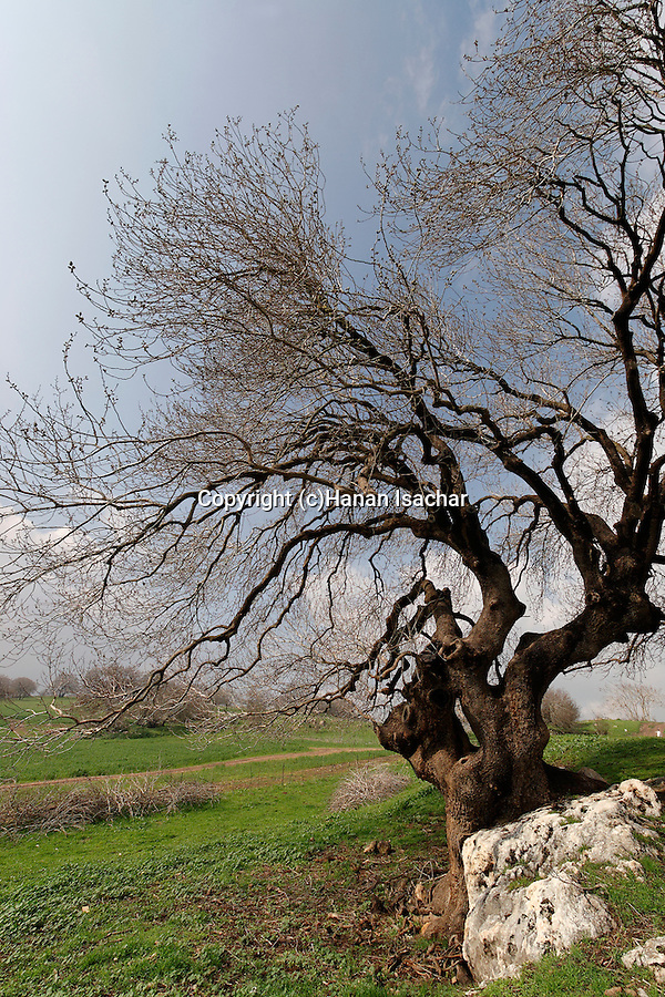 Israel, the Lower Galilee. Atlantic Pistachio (Pistacia Atlantica) tree in Tivon