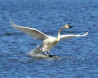 Adult trumpeter swan landing