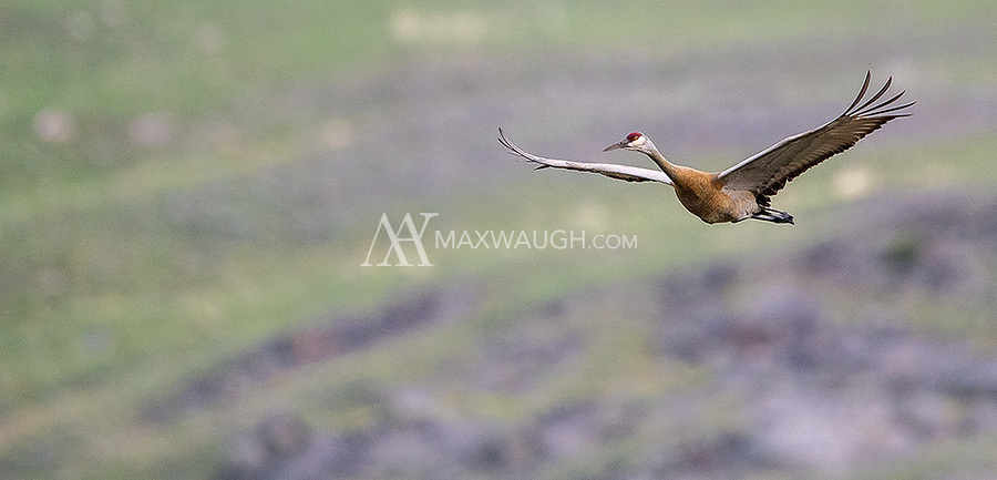 A Sandhill Crane flies in to join the rest of its family on the ground.
