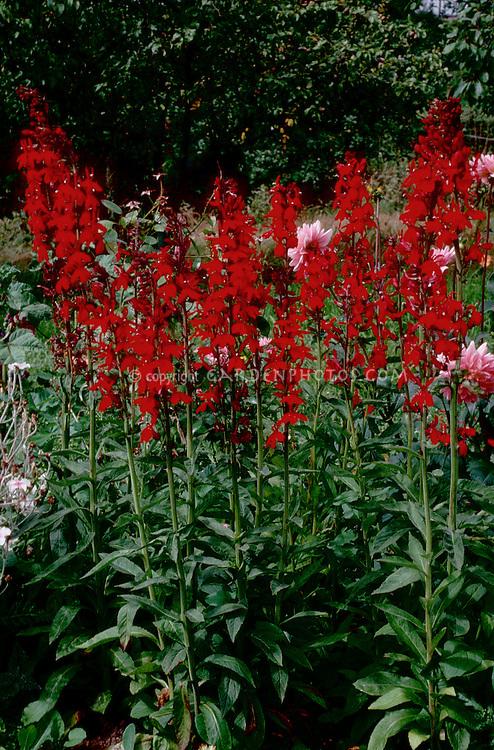 Lobelia Cardinalis Lsquocompliment Scarletrsquo Plant Flower