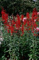 Lobelia cardinalis Compliment Scarlet Cardinal Flower, nativar hybrid (GR2361)