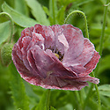 Papaver rhoeas 'Angels Choir Mixed', late May.