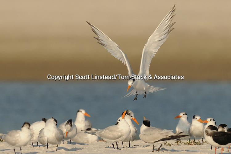 Royal Terns, Thalasseus maximus, syn. Sterna maxima, Florida