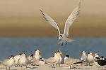 Royal Terns, Thalasseus maximus, syn. Sterna maxima, Florida