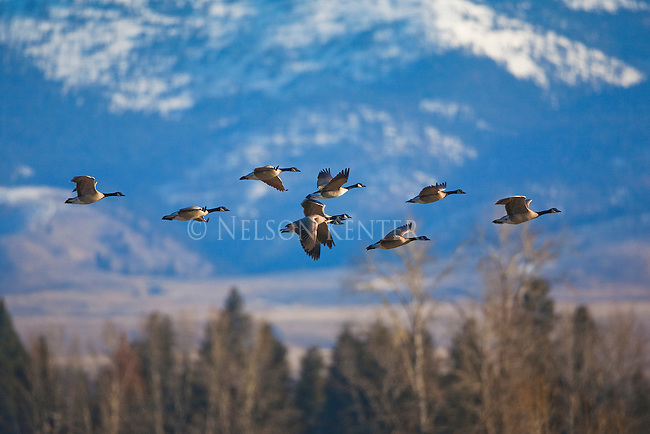 Canada Geese flying over the Lee Metcalf Wildlife Refuge in the Bitterroot Valley of western Montana. The Bitterroot Mountains in the background