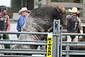 20 Aug 2014: The Bull Gangster of Love 901 attempted to climb out of the bucking shoots during the second round of the Seminole Hard Rock Extreme Bulls competition at the Kitsap County Stampede in Bremerton, Washington.