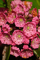 Flowers o the Sheep Laurel Growing In the Adirondak Forest Preservein New York State