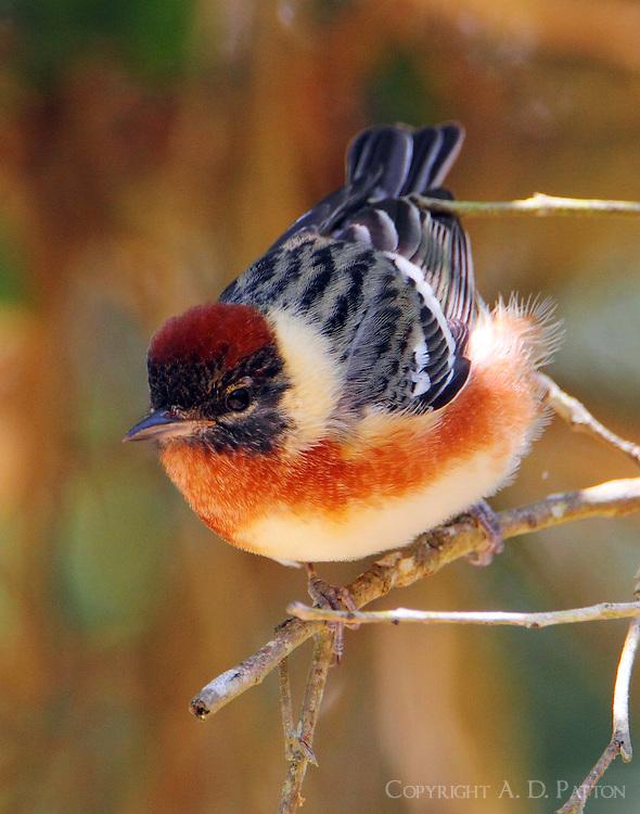 Male bay-breasted warbler in breeding plumage