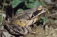 Springfrosch, Spring-Frosch, Frosch, Rana dalmatina, Agile Frog, spring frog