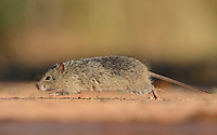 Hispid Cotton Rat (Sigmodon hispidus), adult at waters edge running, South Texas, USA