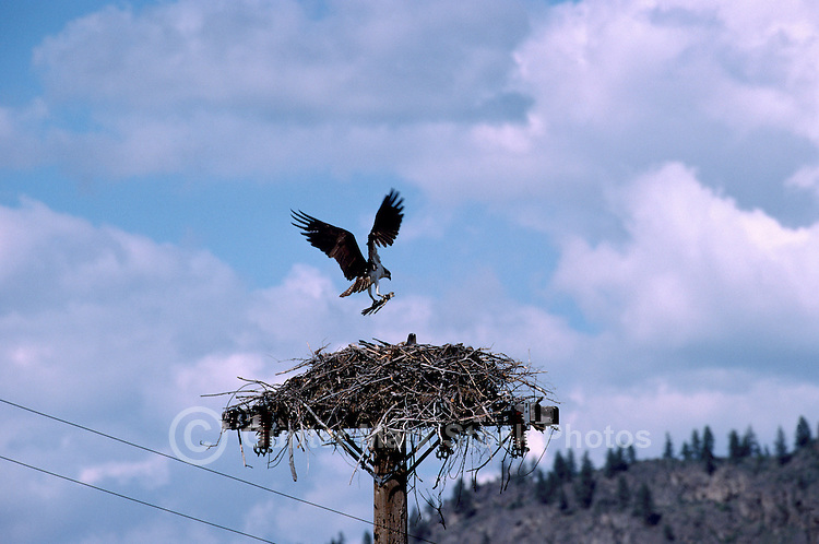 Osprey (Pandion haliaetus) at Nest built on Top of Pole - Okanagan, BC, British Columbia, Canada - North American Birds