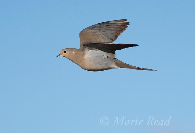 Mourning Dove (Zenaida macroura), in flight, Mono Lake Basin, California, USA