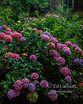 Hydrangea, Hydrangeaceae, Fern Canyon Gardens, Mill Valley, California