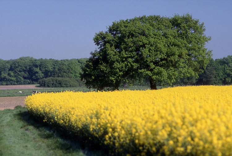 DEU, Deutschland, Nordrhein Westfalen, Niederrhein, Kamp-Lintfort, Rapsfeld im Fruehling, Baum, Eiche, Brassica napus var. napus, Pflanzenoele bilden den Ausgangsstoff fuer Biodiesel. Wichtigste Oelpflanze stellt in Deutschland der Raps dar. Grundsaetzlich koennen aber auch andere Oelpflanzen wie Sonnenblumen und Sojabohnen fuer die Herstellung von Biodiesel eingesetzt werden. Nach der Ernte wird die Rapssaat in Oelmuehlen zu Rapsoel gepresst. Je Hektar koennen ca. 1.500 Liter Pflanzenoel produziert werden. Der anfallende Rapsschrot geht als Eiweißlieferant in die Futtermittelindustrie. Im Gegensatz zu herkoemmlichen Dieselkraftstoffen enthaelt Biodiesel keinen Schwefel und ist biologisch schnell abbaubar...[Fuer die Nutzung gelten die jeweils gueltigen Allgemeinen Liefer-und Geschaeftsbedingungen. Nutzung nur gegen Verwendungsmeldung und Nachweis. Download der AGB unter http://www.image-box.com oder werden auf Anfrage zugesendet. Freigabe ist vorher erforderlich. Jede Nutzung des Fotos ist honorarpflichtig gemaess derzeit gueltiger MFM Liste - Kontakt, Uwe Schmid-Fotografie, Duisburg, Tel. (+49).2065.677997, fotofinder@image-box.com, www.image-box.com]