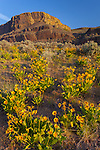 Steamboat Rock State Park, WA  <br /> Morning light on arrowleaf balsam root (Balsamhoriza sagittata) and the basalt cliffs of Steamboat Rock