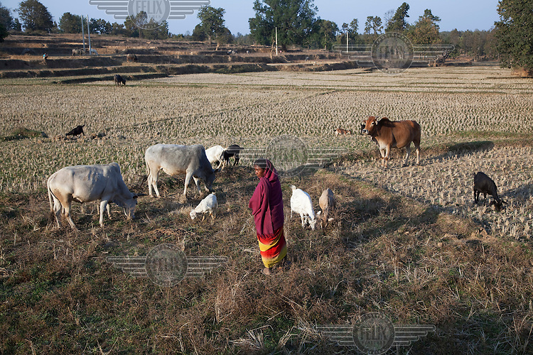 A tribal woman grazes her cattle and goats on pasture land prior to spring planting..