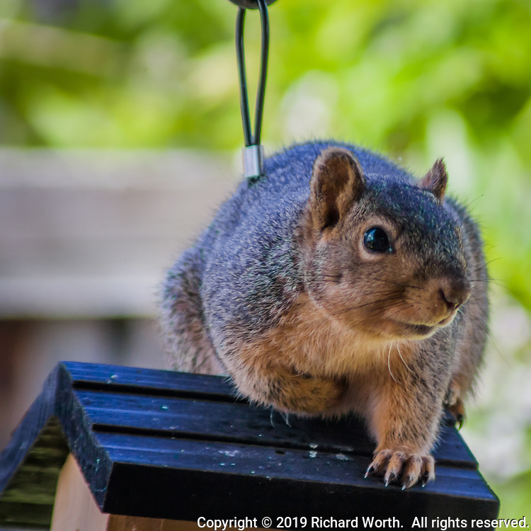 An Eastern Fox Squirrel, caught pillaging a birdfeeder, crouches on the feeder's top and gauges just how much trouble it's in.