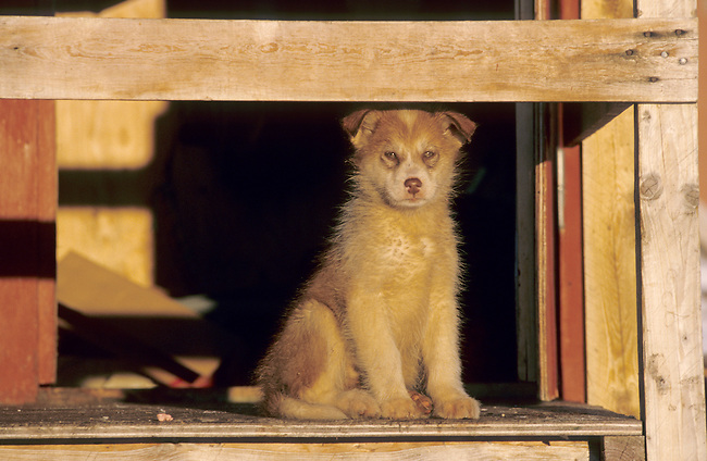 Young husky puppy. Savissavik, Northwest Greenland.