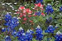 Wildflower meadow garden with Indian Paintbrush (Castilleja indivisa) Bluebonnet lupines (Lupinus texensis) and Fleabane (Erigeron modestus) Lady Bird Johnson Wildflower Center