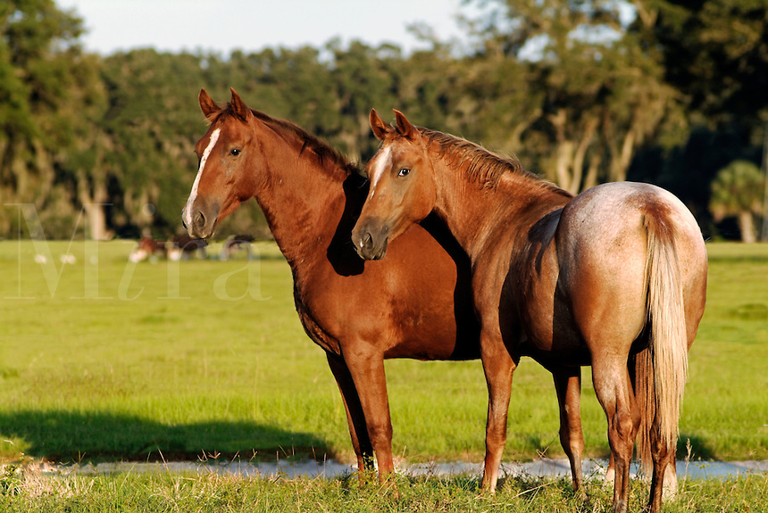 Appaloosa and chestnut colored mares stand in open paddock.