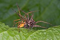 Listspinne, List-Spinne, Raubspinne, Brautgeschenkspinne, Paarung, Kopulation, Pisaura mirabilis, fantastic fishing spider, Nursery web spider, la Pisaure admirable