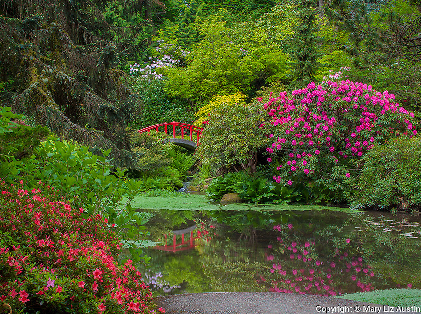 kubota Garden, Seattle, WA: Rhododendrons and azaleas blooming in a dazzling display of colors surrounding Moon Bridge and its reflection