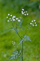 Wiesen-Kerbel, Wiesenkerbel, Anthriscus sylvestris, wild chervil, wild beaked parsley, keck, Queen Anne's lace