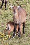Waterbuck & Yearling At Lake Bunyonyi Eco Resort